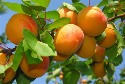 Аллергия на абрикосы
