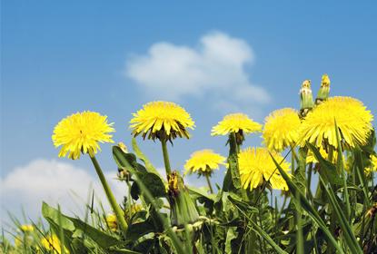 аллергия на одуванчики лечение