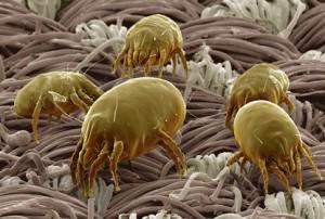 Аллергия на пылевого клеща симптомы