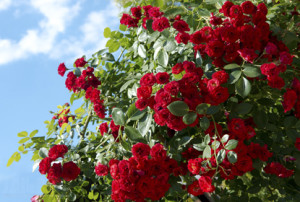 Аллергическая реакция на розы