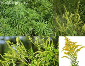 Аллергические реакции организма на амброзию
