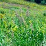 Аллергия на луговые травы
