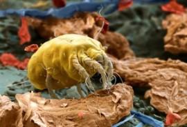 Аллергия на домашнего клеща