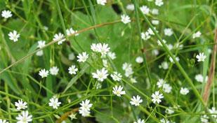 сорные травы аллергия список