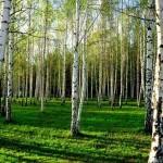 Аллергическая реакция на пыльцу березы