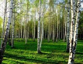Аллергические реакции на пыльцу березы