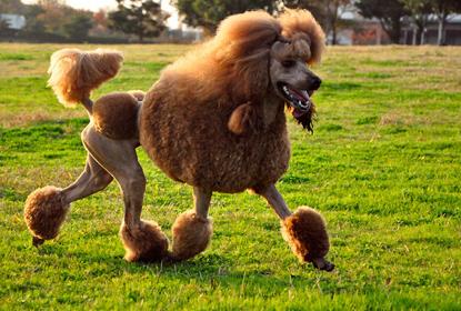 Аллергия на собаку породы - Пудель