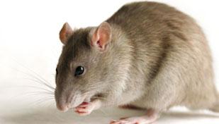 Аллергия на мышей