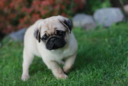 Проявление аллергии у собак породы - мопс