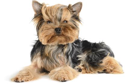 Проявление аллергии у собак породы мопс