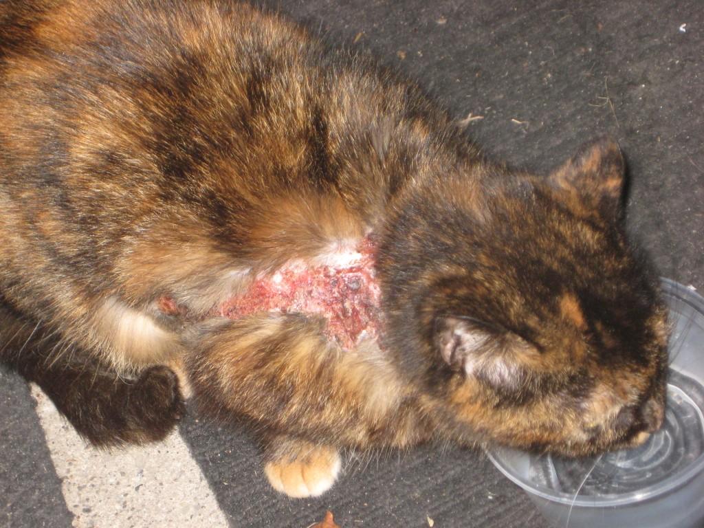 аллергия у котов на ошейник от блох