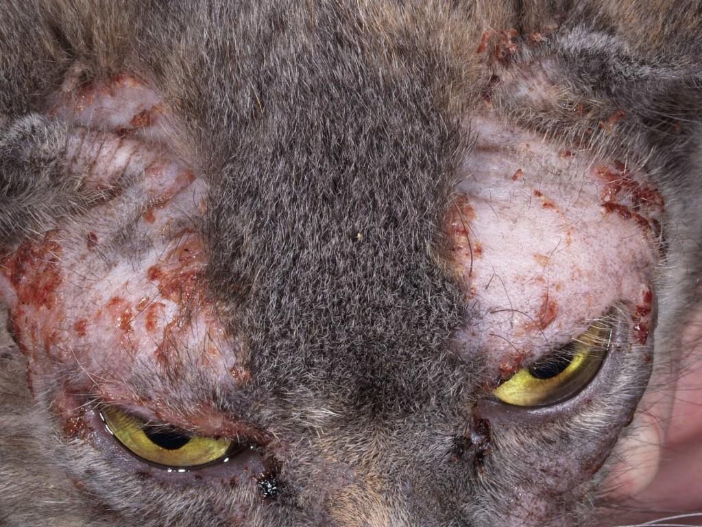 пищевая аллергия у кошки чем лечить