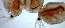 Аллергия на дафнию у любителей аквариумных рыбок