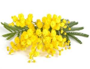 mimosa_2.big_300x230